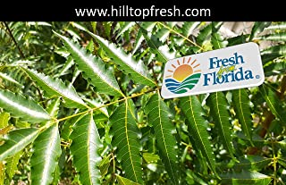 Fresh Organic Neem Leaves (Margosa or Azadirachta Indica Leaves) - ORGANIC - Certified Fresh From Florida