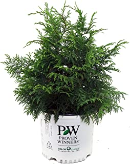 Proven Winners - Chamaecyparis p. Soft Serve (False Cypress) Evergreen, green foliage, #3 - Size Container