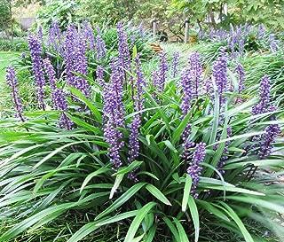 5 lilyturf liriope muscari aka Big Blue Lily Turf/Monkey Grass Flower Seeds