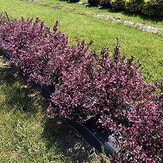 "VERY FINE WINE Weigela - Perennial Shrub - Pink Blooms - 4"" Pot - Proven Winners"