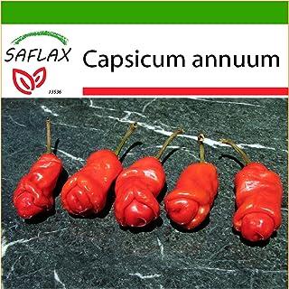 SAFLAX - Chili - Peter Peppers Penis Chili - 10 Samen - Mit keimfreiem Anzuchtsubstrat - Capsicum annuum