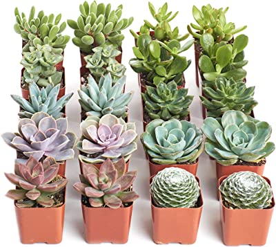 Shop Succulents | Assorted Live Plants, Hand Selected Variety Pack of Mini Succulents | Collection of 20