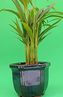 "Areca Palm set in 4"" BLue Glazed ceramic pot by JM Bamboo"