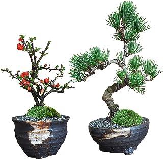 盆栽妙 ペアセット 五葉松と長寿梅のミニ盆栽 母の日 プレゼント 父の日 人気 お祝い