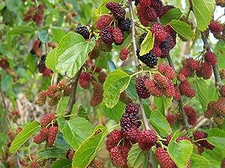 Blanco Mora - Morus Alba - 1 Paquete de 25 semillas - Arbusto - Fruta - Bayas - Cobertura