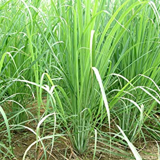 Lemongrass Seeds (Cymbopogon citratus) 50+ Rare Medicinal