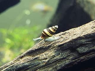 Aquatic Arts 10 Live Assassin Snails/Clea Helena   Pest Snail Remover/Pond Snail Control   Aquarium Maintenance/Nano Fish Tank Aquariums