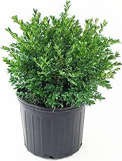 Buxus micro. jap. 'Green Velvet' (Boxwood) Evergreen, #3 - Size Container