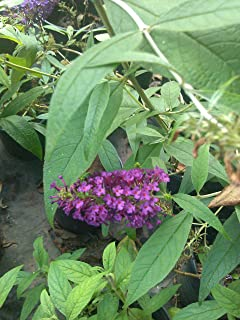 1 Gallon-'Buddleia 'BUZZMidnight' Butterfly Bush'- Dwarf (3-5 ft Tall), Fragrant, Large Tapering Spikes of Dense Purple Flowers, Literally Covered with Flowers