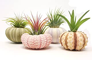 aura creations 4 Pcs Sea Urchin Air Plant Lot/Kit Includes 4 Live Plants and 4 Sea Shells/Housewarming Home Decor Accents