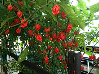 live ghost pepper plants for sale