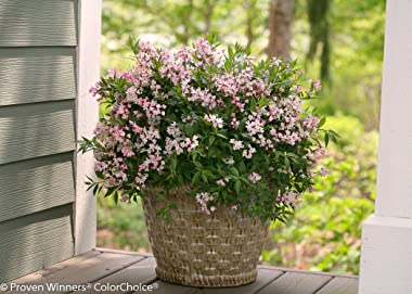 Yuki Cherry Blossom (Deutzia) Live Shrub, Light Pink Flowers, 1 Gallon