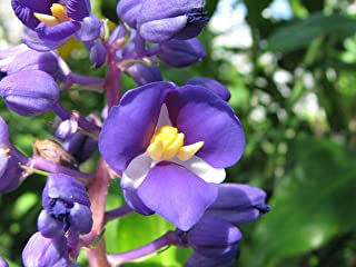 Best hawaiian blue ginger plant Reviews