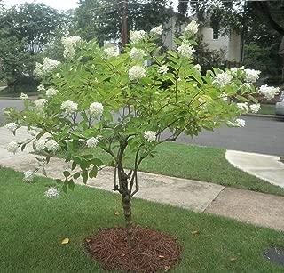 Pee Gee Hydrangea Healthy Shrub 1 Plant in 1 Gallon Fast Growing #GS04