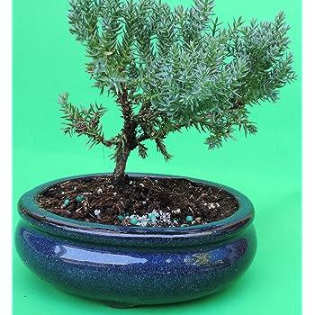 Amazon Com Fertilized Juniper Tree Bonsai Sold By Jm Bamboo Garden Outdoor