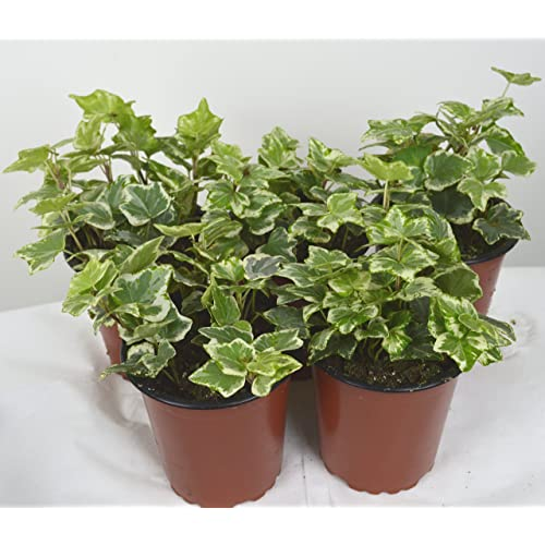 Ivy Plant: Amazon co uk