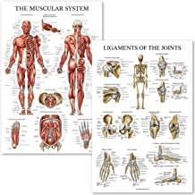 Muscular System and Ligaments of The Joints Anatomical Poster Set - Laminated 2 Chart Set - Muscles and Ligaments Anatomy - 18 x 27