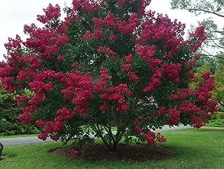bright red crape myrtle