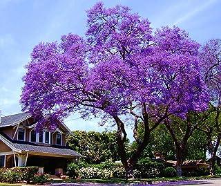 11.11 Venta grande! 50 / bolsa de semillas de rápido crecimiento Paulownia púrpura semillas de árboles raros para la decor...