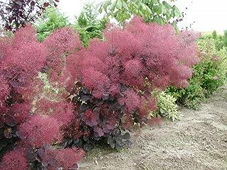 Royal Purple Smoke Bush - Cotinus - Flowering Shrub - 4