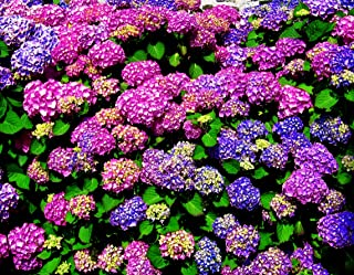20 Pcs Mixed Hydrangea Flower Seeds Perennial Plant Bonsai Home Garden