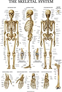 Skeletal System Anatomical Chart - LAMINATED - Human Skeleton Anatomy Poster - Double Sided (18 x 27)