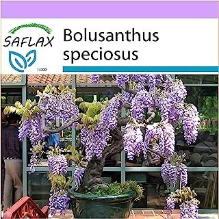 SAFLAX - Bonsai - African Wisteria Tree - 15 Seeds - Cold House Bonsai - Bolusanthus speciosus
