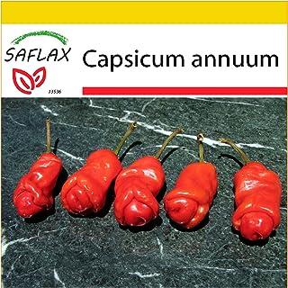 SAFLAX - Anzucht Set - Chili - Peter Peppers Penis Chili - 10 Samen - Mit Mini-Gewächshaus, Anzuchtsubstrat und 2 Töpfen - Capsicum annuum