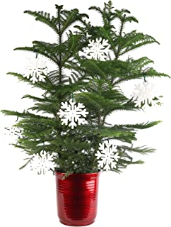 Costa Farms Live Indoor Christmas Tree, 4-Feet Tall, Ships with Red Planter and White Snowflakes, Fresh From Our Farm, Great as Holiday Gift or Christmas Decoration