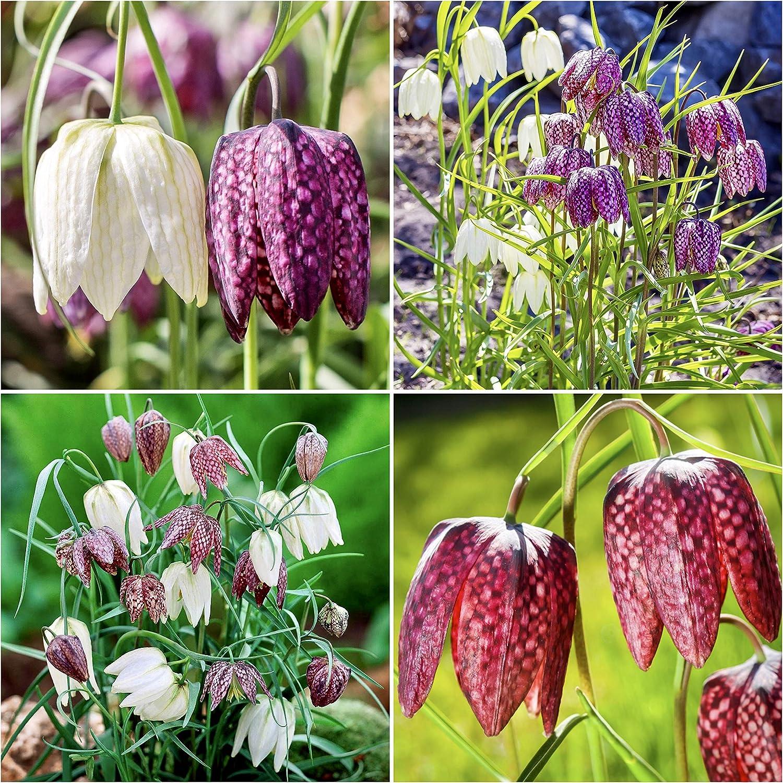 Buy Woodland bulbs® 20 x Fritillaria Bulbs 'Meleagris Mixed ...
