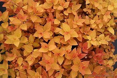 Double Play Candy Corn Spirea (Spiraea), Live Shrub, Purple Flowersand Red and Yellow Foliage, 1 Gallon