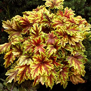 Best heuchera plants for sale Reviews