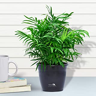 Nurturing Green Air purifying NASA recommended Chamaedorea Palm Plant in Black Pot for home (Live Indoor Dwarf Areca Palm Plant with pot for living room, bedroom, office, table top etc)