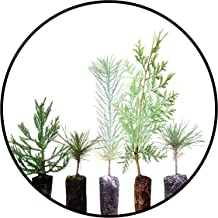 Conifers of The Sierra Nevada   Collection of 5 Live Tree Seedlings   The Jonsteen Company
