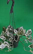 """Double Dip Devil's Ivy - Epipremnum Aureum - 4"""" Hanging Basket - New/Easy"""