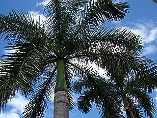 Royal palm stunn big fresh viable *UNCLE CHAN* 100 seeds Roystonea regia