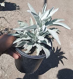 white sage live plant
