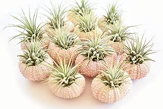 12 Pack - Beautiful Pink Sea Urchin Air Plant Kit (Tillandsia) 2