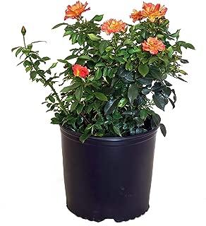 Rosa Livin' Easy (Rose) Rose, orange flowers, #3 - Size Container