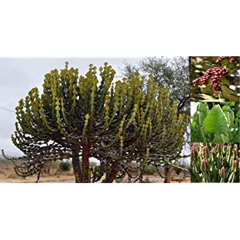 everd1487HH Flower Seeds,30//60Pcs Rare Cactus Seeds Succulent Plant Ornament Garden and Home Bonsai Easy to Grow Flower Plant Seeds 60pcs Cactus Seeds