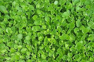 1 Gotu Kola Live Plants 4-16