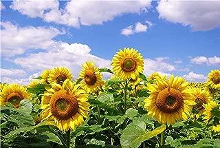 Sunflower Seeds 20g-Mammoth Grey Stripe Sunflower Organic Non-GMO Vegetable Garden Flowering Open Pollinated Seeds for Planting