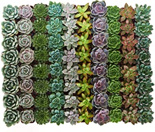 Shop Succulents | Radiant Rosette Collection of Live Succulent Plants, Hand Selected Variety Pack of Mini Succulents | Collection of 100
