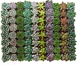 Shop Succulents | Radiant Rosette Collection of Live Succulent Plants, Hand Selected Variety Pack of Mini Succulents | Collection of 64