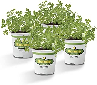 Bonnie Plants Flat Italian Parsley Live Herb Plants - 4 Pack, Biennial, Non-Gmo, Garnish, Seasoning, Salads, Palate Cleans...