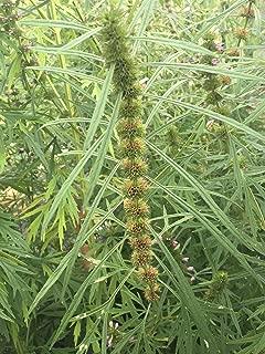 Best artemisia annua plants for sale Reviews