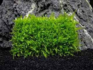 Aquatic Arts Rose NL Moss Mat - Live Aquarium Plant, 3 x 1.6 inch Mat