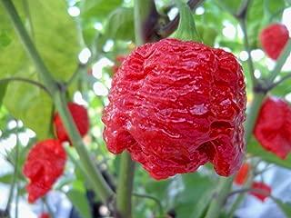 7 Pot Brainstrain Hot Pepper 10+ seeds