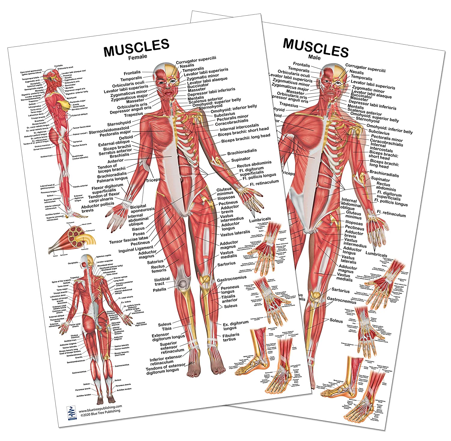 2 Poster Today's only Set Muscles Female Spring new work 24x36inch for Male and