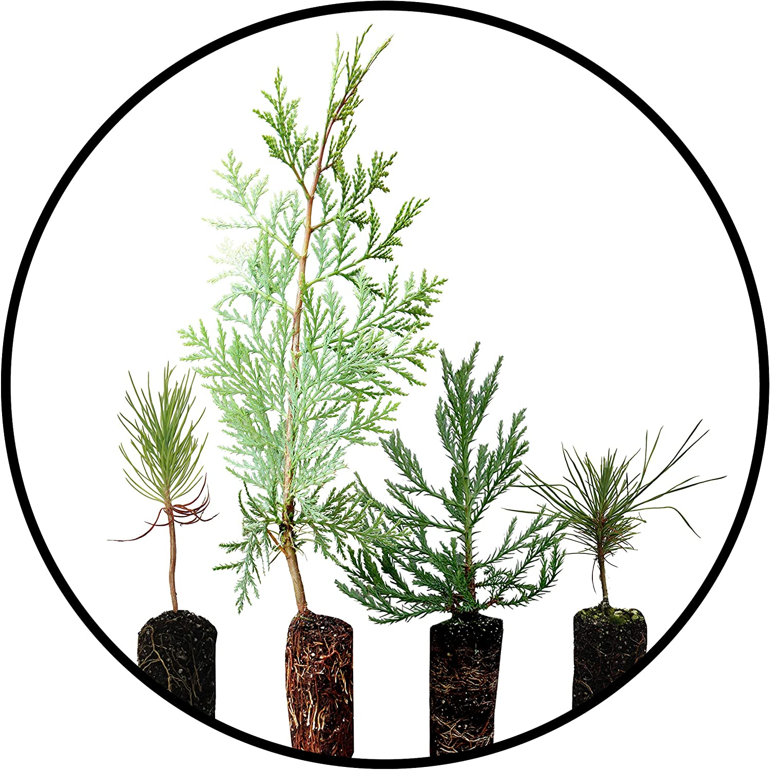 Conifers of The Sierra Popular brand in the world Nevada 5 Collection Tree 5 popular Live Seedli